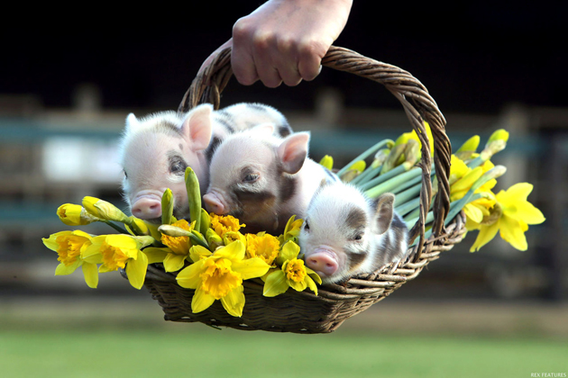 35 Cute Miniature Pig Pictures Great Inspire